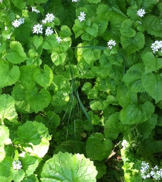 Garlic mustard. School of the Wild