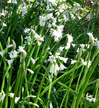 Three cornered leek. School of the Wild